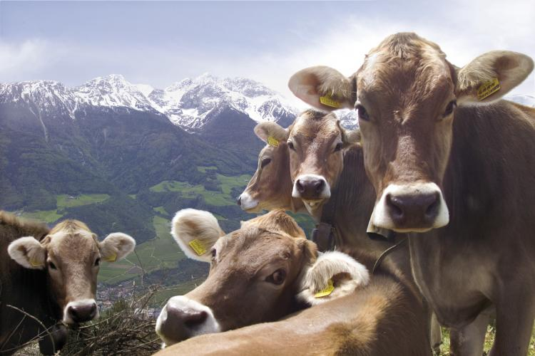 Cows on the Alpine pasture