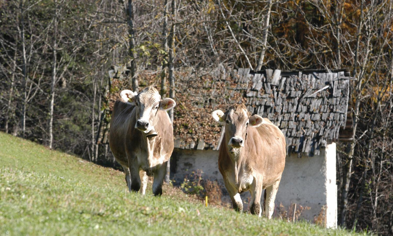 Tyrolean Grey cattle on the pasture